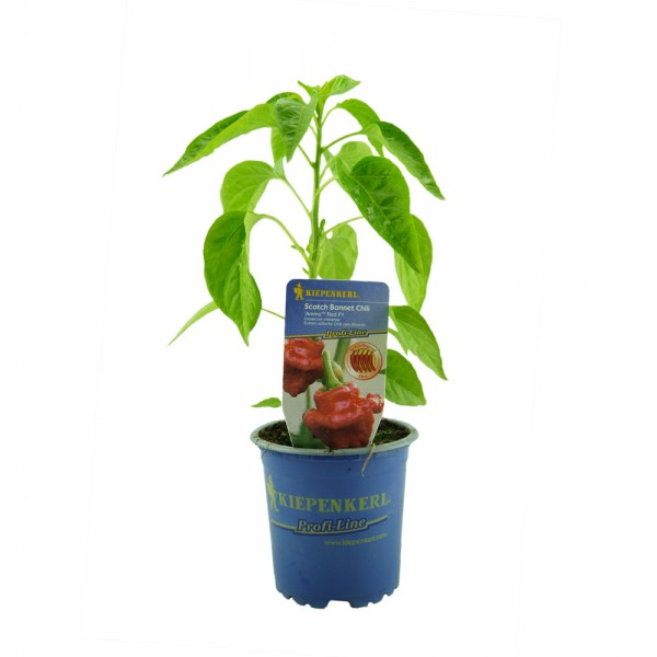 Scotch Bonnet Chili Animo Red